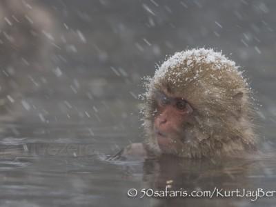 Japan, winter, wildlife, safari, photo safari, photo tour, photographic safari, photographic tour, photo workshop, wildlife photography, 50 safaris, 50 photographic safaris, kurt jay bertels, ice, snow monkey, japanese macaque, japanese monkey, swimming, hot spring, bathing, relaxing, snowing, snow
