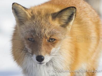 Japan, winter, wildlife, safari, photo safari, photo tour, photographic safari, photographic tour, photo workshop, wildlife photography, 50 safaris, 50 photographic safaris, kurt jay bertels, red fox, close up, face, portrait