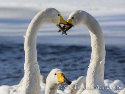Japan, winter, wildlife, safari, photo safari, photo tour, photographic safari, photographic tour, photo workshop, wildlife photography, 50 safaris, 50 photographic safaris, kurt jay bertels, whooper swans, fighting