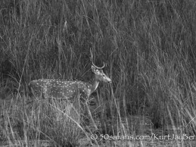 India, tiger, wildlife, safari, photo safari, photo tour, photographic safari, photographic tour, photo workshop, wildlife photography, 50 safaris, 50 photographic safaris, kurt jay bertels, Spotted deer, chital deer
