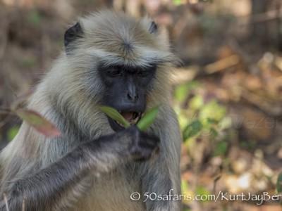 India, tiger, wildlife, safari, photo safari, photo tour, photographic safari, photographic tour, photo workshop, wildlife photography, 50 safaris, 50 photographic safaris, kurt jay bertels, langur, monkey, feeding