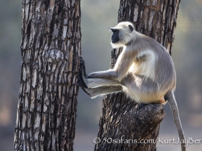 India, tiger, wildlife, safari, photo safari, photo tour, photographic safari, photographic tour, photo workshop, wildlife photography, 50 safaris, 50 photographic safaris, kurt jay bertels, langur, monkey