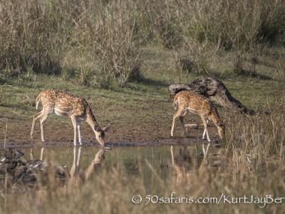 India, tiger, wildlife, safari, photo safari, photo tour, photographic safari, photographic tour, photo workshop, wildlife photography, 50 safaris, 50 photographic safaris, kurt jay bertels, Spotted deer, chital deer, drinking