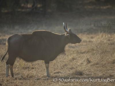 India, tiger, wildlife, safari, photo safari, photo tour, photographic safari, photographic tour, photo workshop, wildlife photography, 50 safaris, 50 photographic safaris, kurt jay bertels, indian gaur, indian bison, buffalo