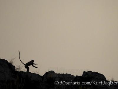 India, tiger, wildlife, safari, photo safari, photo tour, photographic safari, photographic tour, photo workshop, wildlife photography, 50 safaris, 50 photographic safaris, kurt jay bertels, langur, monkey, alarm calling, scared, leopard