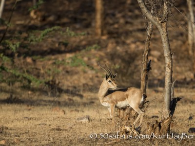India, tiger, wildlife, safari, photo safari, photo tour, photographic safari, photographic tour, photo workshop, wildlife photography, 50 safaris, 50 photographic safaris, kurt jay bertels, indian gazelle, gazelle, male