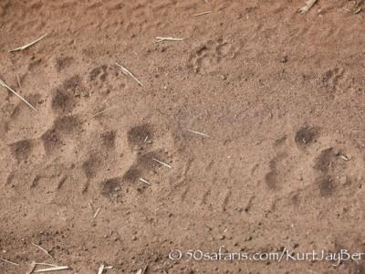 India, tiger, wildlife, safari, photo safari, photo tour, photographic safari, photographic tour, photo workshop, wildlife photography, 50 safaris, 50 photographic safaris, kurt jay bertels, tier tracks, foot prints, pug marks, spoor