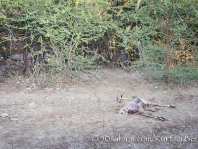 India, tiger, wildlife, safari, photo safari, photo tour, photographic safari, photographic tour, photo workshop, wildlife photography, 50 safaris, 50 photographic safaris, kurt jay bertels, tiger kill, spotted deer, dead, remains
