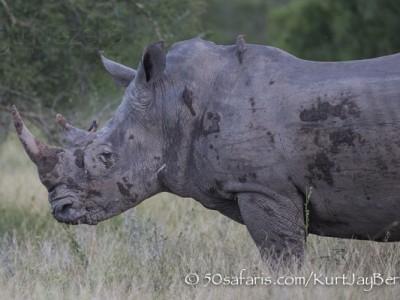 South Africa, wildlife, safari, photo safari, photo tour, photographic safari, photographic tour, photo workshop, wildlife photography, 50 safaris, 50 photographic safaris, kurt jay bertels, rhino, white rhino, bull