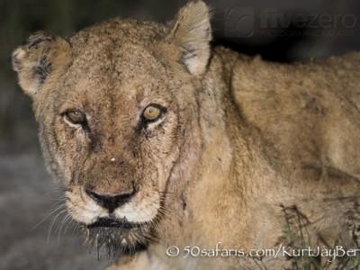 South Africa, wildlife, safari, photo safari, photo tour, photographic safari, photographic tour, photo workshop, wildlife photography, 50 safaris, 50 photographic safaris, kurt jay bertels, lion, lioness, old, drinking