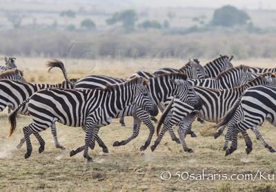 Kenya, great migration, migration, kill, wildebeest, calendar, crocodile, when to go, best, wildlife, safari, photo safari, photo tour, photographic safari, photographic tour, photo workshop, wildlife photography, 50 safaris, 50 photographic safaris, kurt jay bertels, zebra, running, plains zebra, panic