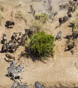 Kenya, great migration, migration, kill, wildebeest, calendar, crocodile, when to go, best, wildlife, safari, photo safari, photo tour, photographic safari, photographic tour, photo workshop, wildlife photography, 50 safaris, 50 photographic safaris, kurt jay bertels, zebra, wildebeest, crossing, mara river, migration