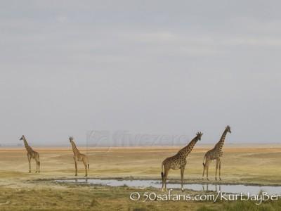 Kenya, great migration, migration, kill, wildebeest, calendar, crocodile, when to go, best, wildlife, safari, photo safari, photo tour, photographic safari, photographic tour, photo workshop, wildlife photography, 50 safaris, 50 photographic safaris, kurt jay bertels, amboseli, amboseli national park, giraffe, masai giraffe, kenyan giraffe
