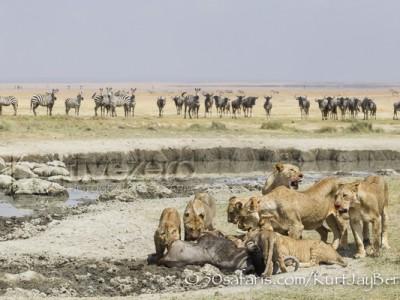 Kenya, great migration, migration, kill, wildebeest, calendar, crocodile, when to go, best, wildlife, safari, photo safari, photo tour, photographic safari, photographic tour, photo workshop, wildlife photography, 50 safaris, 50 photographic safaris, kurt jay bertels, amboseli, amboseli national park, lions, kill, wildebeest, feeding, eating, cubs, fighting, aggression
