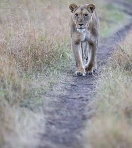 Kenya, great migration, migration, kill, wildebeest, calendar, crocodile, when to go, best, wildlife, safari, photo safari, photo tour, photographic safari, photographic tour, photo workshop, wildlife photography, 50 safaris, 50 photographic safaris, kurt jay bertels, lioness, lion, walking, path