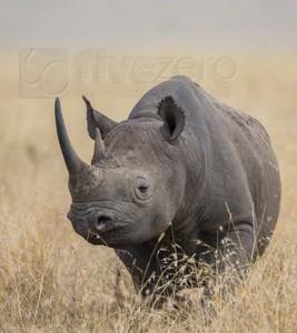 Kenya, great migration, migration, kill, wildebeest, calendar, crocodile, when to go, best, wildlife, safari, photo safari, photo tour, photographic safari, photographic tour, photo workshop, wildlife photography, 50 safaris, 50 photographic safaris, kurt jay bertels, black rhino, endangered, poaching, rare, rhino