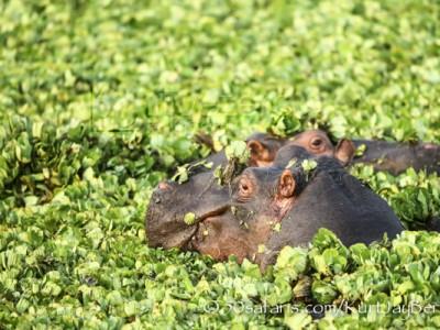 Kenya, great migration, migration, kill, wildebeest, calendar, crocodile, when to go, best, wildlife, safari, photo safari, photo tour, photographic safari, photographic tour, photo workshop, wildlife photography, 50 safaris, 50 photographic safaris, kurt jay bertels, hippo, water hyacinth, water lettuce, water cabbage