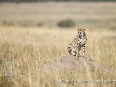 Kenya, great migration, migration, kill, wildebeest, calendar, crocodile, when to go, best, wildlife, safari, photo safari, photo tour, photographic safari, photographic tour, photo workshop, wildlife photography, 50 safaris, 50 photographic safaris, kurt jay bertels, cheetah, termite mound
