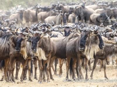 Kenya, great migration, migration, kill, wildebeest, calendar, crocodile, when to go, best, wildlife, safari, photo safari, photo tour, photographic safari, photographic tour, photo workshop, wildlife photography, 50 safaris, 50 photographic safaris, kurt jay bertels, wildebeest, building