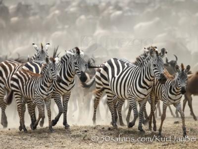 Kenya, great migration, migration, kill, wildebeest, calendar, crocodile, when to go, best, wildlife, safari, photo safari, photo tour, photographic safari, photographic tour, photo workshop, wildlife photography, 50 safaris, 50 photographic safaris, kurt jay bertels, zebra, running, dust, stampede