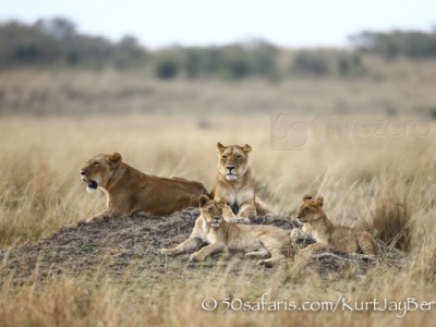 Kenya, great migration, migration, kill, wildebeest, calendar, crocodile, when to go, best, wildlife, safari, photo safari, photo tour, photographic safari, photographic tour, photo workshop, wildlife photography, 50 safaris, 50 photographic safaris, kurt jay bertels, lion, lions, cubs, family, pride, termite mound