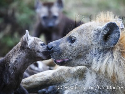 Kenya, great migration, migration, kill, wildebeest, calendar, crocodile, when to go, best, wildlife, safari, photo safari, photo tour, photographic safari, photographic tour, photo workshop, wildlife photography, 50 safaris, 50 photographic safaris, kurt jay bertels, hyaena, spotted hyaena, cub, pup, cute