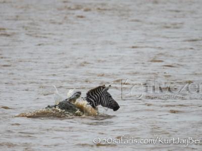 Kenya, great migration, migration, kill, wildebeest, calendar, crocodile, when to go, best, wildlife, safari, photo safari, photo tour, photographic safari, photographic tour, photo workshop, wildlife photography, 50 safaris, 50 photographic safaris, kurt jay bertels, zebra, kill, crocodile, attack
