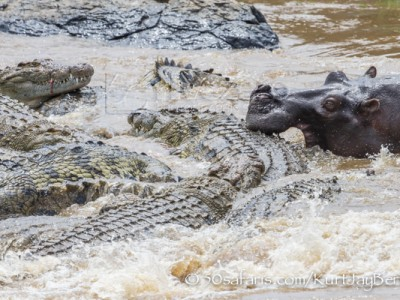 Kenya, great migration, migration, kill, wildebeest, calendar, crocodile, when to go, best, wildlife, safari, photo safari, photo tour, photographic safari, photographic tour, photo workshop, wildlife photography, 50 safaris, 50 photographic safaris, kurt jay bertels, zebra, kill, crocodile, attack, eating, feeding, hippo, attacking croc