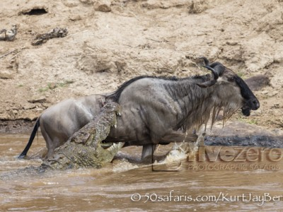 Kenya, great migration, migration, kill, wildebeest, calendar, crocodile, when to go, best, wildlife, safari, photo safari, photo tour, photographic safari, photographic tour, photo workshop, wildlife photography, 50 safaris, 50 photographic safaris, kurt jay bertels, wildebeest, attack, kill, crocodile, drown