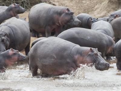 Kenya, great migration, migration, kill, wildebeest, calendar, crocodile, when to go, best, wildlife, safari, photo safari, photo tour, photographic safari, photographic tour, photo workshop, wildlife photography, 50 safaris, 50 photographic safaris, kurt jay bertels, hippo, calf, running