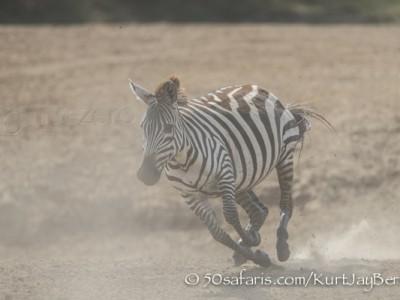 Kenya, great migration, migration, kill, wildebeest, calendar, crocodile, when to go, best, wildlife, safari, photo safari, photo tour, photographic safari, photographic tour, photo workshop, wildlife photography, 50 safaris, 50 photographic safaris, kurt jay bertels, zebra, running, dust