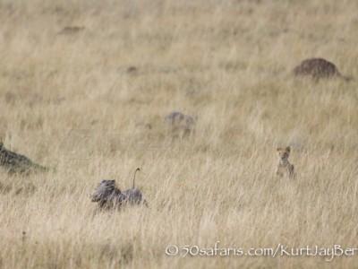 Kenya, great migration, migration, kill, wildebeest, calendar, crocodile, when to go, best, wildlife, safari, photo safari, photo tour, photographic safari, photographic tour, photo workshop, wildlife photography, 50 safaris, 50 photographic safaris, kurt jay bertels, amboseli, amboseli national park, lion chasing a warthog, warthog, lion kill, lioness, hunting