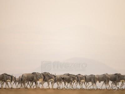 Kenya, great migration, migration, kill, wildebeest, calendar, crocodile, when to go, best, wildlife, safari, photo safari, photo tour, photographic safari, photographic tour, photo workshop, wildlife photography, 50 safaris, 50 photographic safaris, kurt jay bertels, amboseli, amboseli national park, wildebeest, dry lake bed