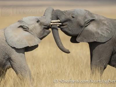Kenya, great migration, migration, kill, wildebeest, calendar, crocodile, when to go, best, wildlife, safari, photo safari, photo tour, photographic safari, photographic tour, photo workshop, wildlife photography, 50 safaris, 50 photographic safaris, kurt jay bertels, amboseli, amboseli national park, elephant, fighting, playing, trunks