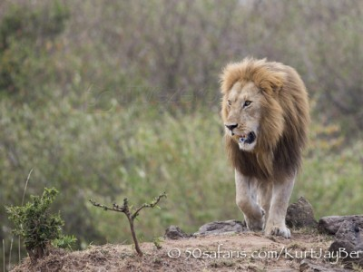 Kenya, great migration, migration, kill, wildebeest, calendar, crocodile, when to go, best, wildlife, safari, photo safari, photo tour, photographic safari, photographic tour, photo workshop, wildlife photography, 50 safaris, 50 photographic safaris, kurt jay bertels, lion, male, large, coalition,