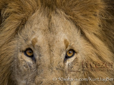 Kenya, great migration, migration, kill, wildebeest, calendar, crocodile, when to go, best, wildlife, safari, photo safari, photo tour, photographic safari, photographic tour, photo workshop, wildlife photography, 50 safaris, 50 photographic safaris, kurt jay bertels, lion, male, eyes, close, dangerous, stare