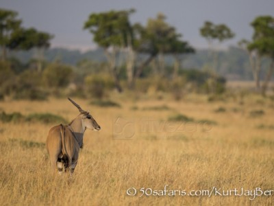 Kenya, great migration, migration, kill, wildebeest, calendar, crocodile, when to go, best, wildlife, safari, photo safari, photo tour, photographic safari, photographic tour, photo workshop, wildlife photography, 50 safaris, 50 photographic safaris, kurt jay bertels, eland, antelope, large