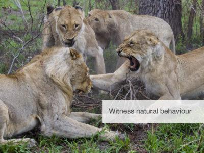 Predator safari, fivezero safaris