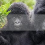 Permalink to The Gorilla Safari