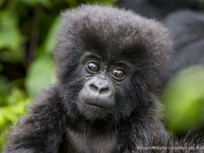 calendar, when to go, best, wildlife, safari, photo safari, photo tour, photographic safari, photographic tour, photo workshop, wildlife photography, five zero safaris, five zero photographic safaris, fivezero, kurt jay bertels, gorilla, gorilla safari, rwanda, gorilla trekking, volcano, volcanoes national park, baby