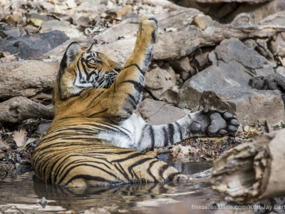 calendar, when to go, best, wildlife, safari, photo safari, photo tour, photographic safari, photographic tour, photo workshop, wildlife photography, five zero safaris, five zero photographic safaris, fivezero, kurt jay bertels, tiger safari, india, tiger, bengal tiger, swimming