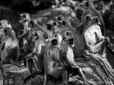 calendar, when to go, best, wildlife, safari, photo safari, photo tour, photographic safari, photographic tour, photo workshop, wildlife photography, five zero safaris, five zero photographic safaris, fivezero, kurt jay bertels, tiger safari, india, grey langur, langur