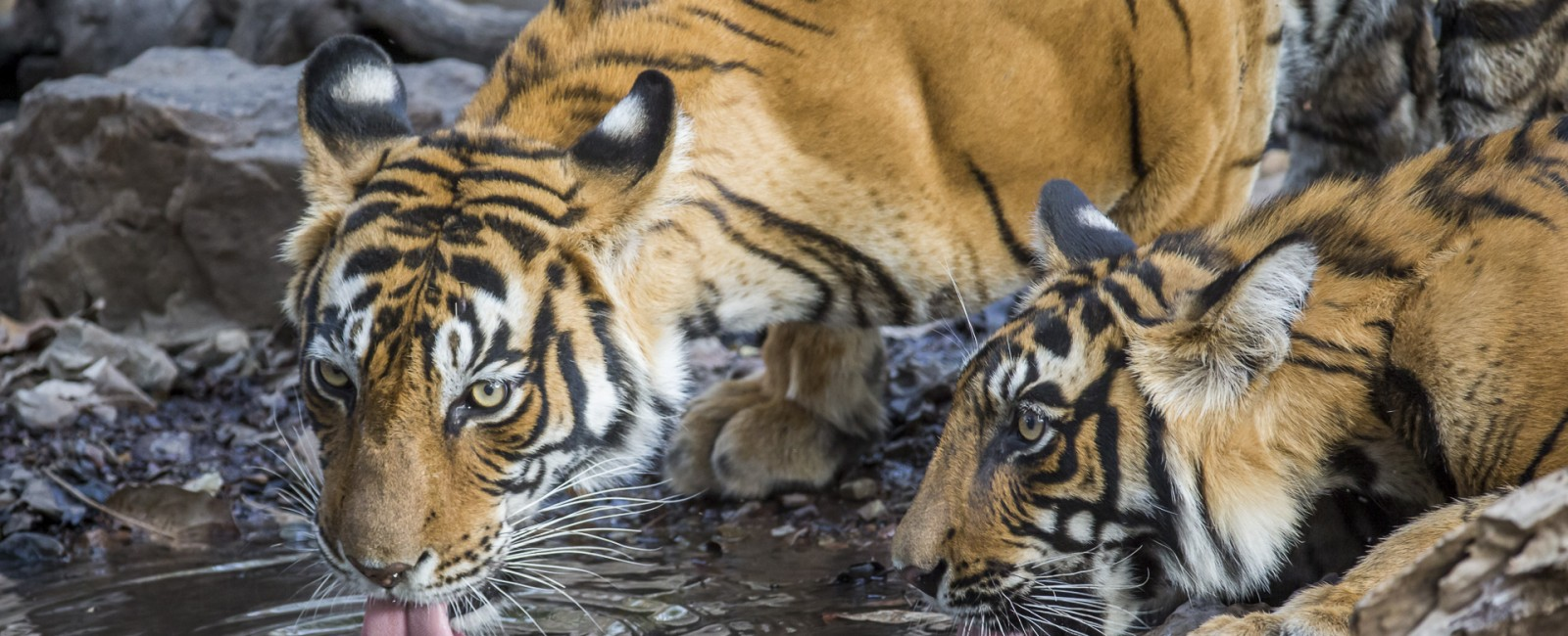 Permalink to The Tiger Safari: Day 6