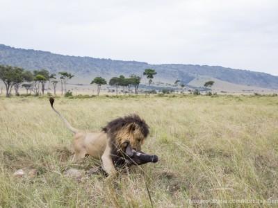 lion, kill, dragging, wildebeest, notch, photo safari, photographic safari, wildlife photographic safari, photo tour, photo workshop, when to go, best, fivezero safaris, five zero, safari, kurt jay bertels, kenya, masai mara, great migration,