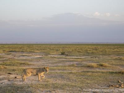 elephants, photo safari, photographic safari, wildlife photographic safari, photo tour, photo workshop, when to go, best, fivezero safaris, five zero, safari, kurt jay bertels, kenya, amboseli, amboseli national park, lion, mount kilimanjaro