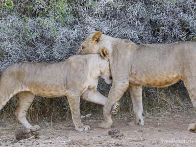photo safari, photographic safari, wildlife photographic safari, photo tour, photo workshop, when to go, best, fivezero safaris, five zero, safari, kurt jay bertels, kenya, samburu,, lion