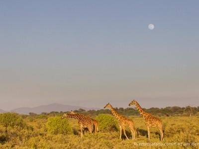 photo safari, photographic safari, wildlife photographic safari, photo tour, photo workshop, when to go, best, fivezero safaris, five zero, safari, kurt jay bertels, kenya, samburu,, reticulated giraffe