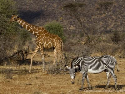 photo safari, photographic safari, wildlife photographic safari, photo tour, photo workshop, when to go, best, fivezero safaris, five zero, safari, kurt jay bertels, kenya, samburu, grevys zebra, reticulated giraffe