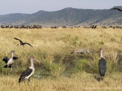 leopard, photo safari, photographic safari, wildlife photographic safari, photo tour, photo workshop, when to go, best, fivezero safaris, five zero, safari, kurt jay bertels, kenya, masai mara, great migration,