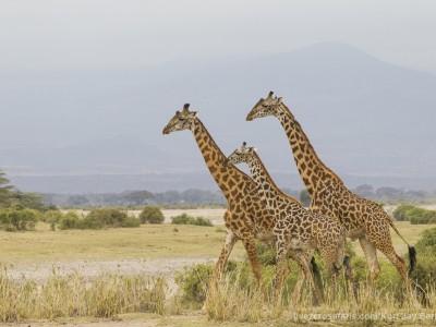 elephants, photo safari, photographic safari, wildlife photographic safari, photo tour, photo workshop, when to go, best, fivezero safaris, five zero, safari, kurt jay bertels, kenya, amboseli, amboseli national park, giraffe